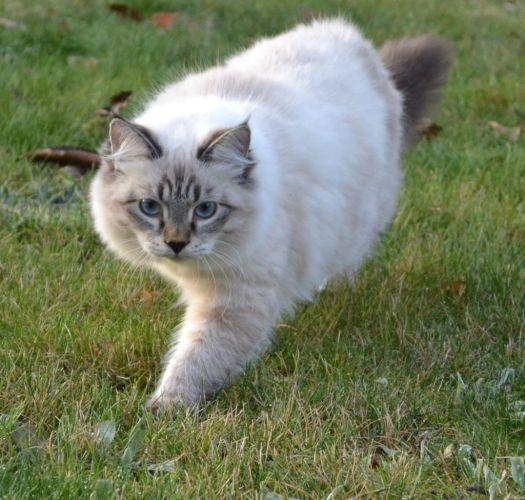 Hodowla kotów rasowych